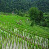 بررسی روشهای مختلف آبياری بر روی برنج
