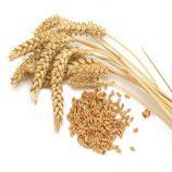 دانه گندم